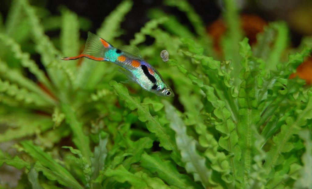 Endler peces acuario pequeño