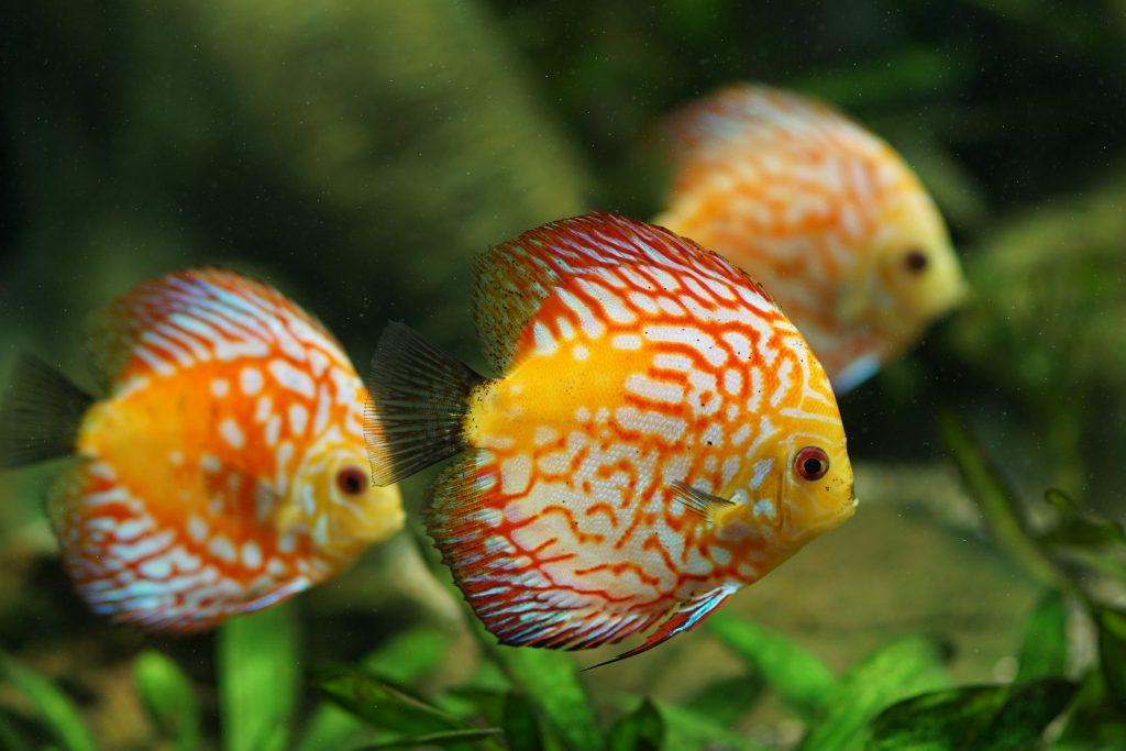 mueren mis peces disco