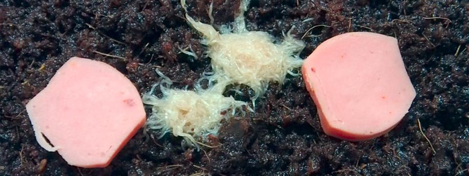 gusano grindal