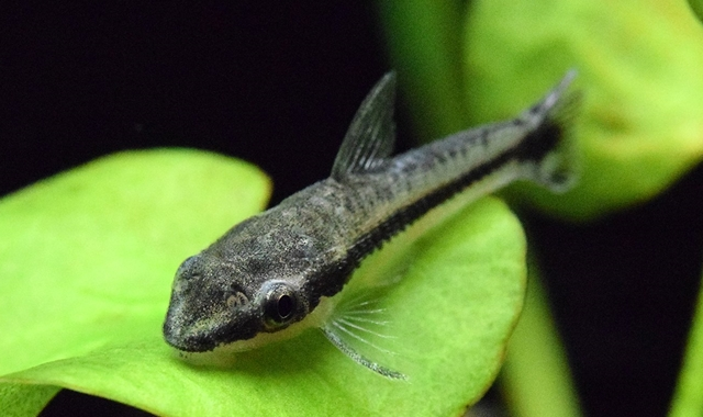 pez come algas  Otocinclus affinis