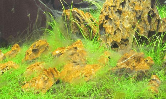 Alga filamentosa en el acuario