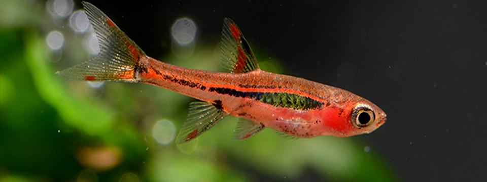 peces acuario pequeño