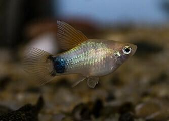 pez platy macho